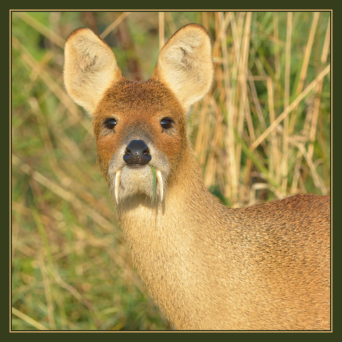 Chinese Deer With Fangs Chinese Water Deer Chinese