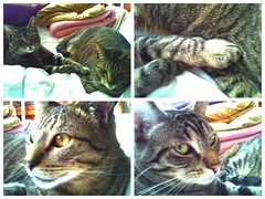 293, The cats don't seem to mind the small Harinezumi. (Gemma Geluz - http://gemmageluz.etsy.com) Tags: cats kitties graytabby harinezumi digitalharinezumi degihari picsart flickrandroidapp:filter=none galaxys3 365project2013