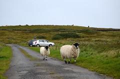 Encounter on the road (monika & manfred) Tags: uk greatbritain island scotland holidays mm relaxation hebrides islaymemorytour islay2013 islaymemorytour2013