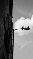 24/31 - On the watch (jfsouto) Tags: uk london birds pair hc110 ilfordhp5 lamppost ravens elephantandcastle leicamp dilutionh