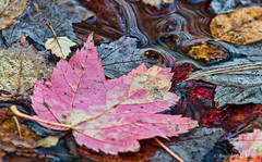 Beauty in Death (Angela M. Miller (on a long, long break)) Tags: fallleaves fall water leaves death fallcolor minolta maine autumnleaves dying autumncolor waterbubbles leavesinwater sonyalpha minoltabeercan minolta70210mm sonya57