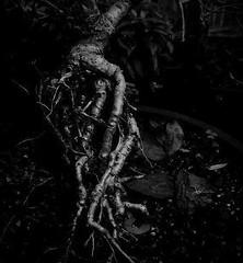 a whisper (LauraSorrells) Tags: favorite painterly tree monochrome mystery dark botanical whisper grace here monroe bonsai contemplative 2007 atdadshouse somberbeauty