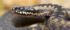 Eyeballed (KHR Images) Tags: wild macro nature closeup nikon reptile snake wildlife headshot adder venomous 105mm viperaberus d7100 kevinrobson khrimages ukvenomoussnake