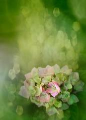 Sueos (JosideLusarreta) Tags: flowers flores verde green sueos hortencias ostrellina
