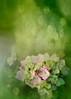 Sueños (JosideLusarreta) Tags: flowers flores verde green sueños hortencias ostrellina