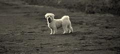 Milo (raoulb92) Tags: dog white love netherlands outside nikon sweet walk sunday nederland natuur hond lovely bos zondag veluwe leeste nikond3100