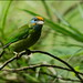 Yellow-fronted Barbet (Megalaima flavifrons)  @ Sinharaja Forest Reserve.