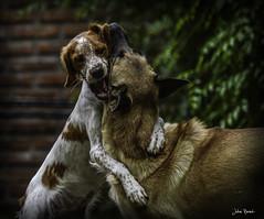 El amorrr el amorrr!! (JulianBernalPh) Tags: dog fight nikon