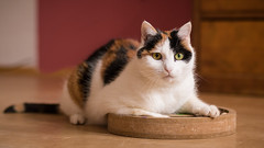Nele (No_Water) Tags: cat calico nele