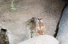Burgers Zoo (Babette van Gameren) Tags: meerkat arnhem burgerszoo stokstaartje dierentuin