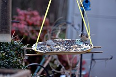 bird birdfeeder tuftedtitmouse