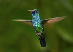 Blue-chinned Sapphire Hummingbird (Chlorestes notatus) in flight, Asa Wright Nature Center, Trinidad. (pedro lastra) Tags: nature hummingbird center trinidad wright asa trinidadtobago trochilidae chlorostilbonnotatus chlorestesnotata