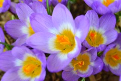 Fleetwood Gardens (careth@2012) Tags: macro closeup spring nikon britishcolumbia crocus unforgettableflowers d3100 nikond3100