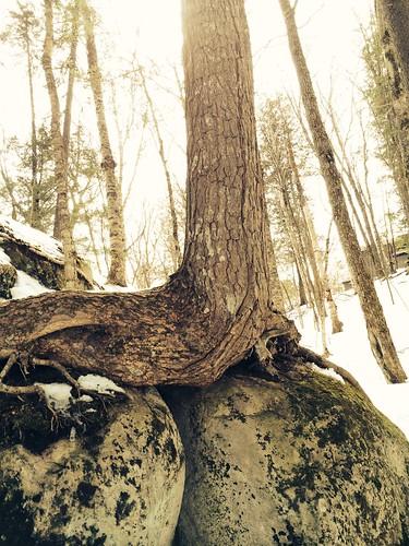 tree on boulders