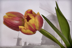 Tulips (Lindaw9) Tags: holland texture netherlands colours tulips windmills molen the macro105lens