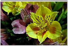 Astromelia.....P1090475EP (gtercero) Tags: astromelia oltusfotos gtercero 20120408