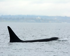 T101A (Hysazu) Tags: nature wildlife pacificnorthwest orca killerwhale victoriabc orcinusorca salishsea wildwhales transientkillerwhales biggskillerwhales westernprincewhalewatching