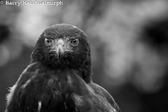 IMG_9426 (Habitualmurph) Tags: ireland birds canon hawk owl falcon birdsofprey kildare southkildarephotography canonreblet3