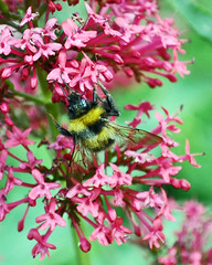 Nature in the garden (littlestschnauzer) Tags: uk pink flowers summer plant black west detail macro nature june yellow rural garden insect design countryside flying wings wildlife bees yorkshire bee transparency flowering transparent winged striped lattice huddersfield pollination 2015