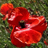 Coquelicot (JMVerco) Tags: red flower fleur square rouge fiore rosso coth coth5 sailsevenseas