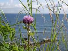 Thistle by the Sea (KevinS2015) Tags: ocean travel sea plant flower green grass leaves saint clouds coast leaf stem rocks andrews waves purple cloudy thistle wheat sony horizon rocky scottish seeds depthoffield shore foam buds ripples blade spine spines reproduction spiny spittle contiki spittlebug noregrets photosynthesis angiosperm hx90v dschx90v sonydschx90v