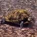 Top Turtle in Troy Springs