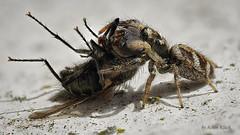 Zebraspringspinne (Salticus scenicus) mit fetter Beute 1 (AchimOWL) Tags: gx80 panasonic lumix postfocus spider webspinne araneae natur nature wildlife outdoor springspinne macro