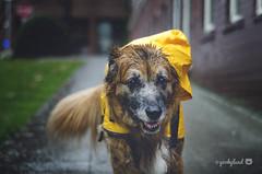 11/52 - walking through the rain... (yookyland) Tags: 52weeksfordogs misty 2017 1152 dog raindrops city yellow raincoat