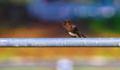 Black Phoebe Will Rogers State Historic Park 098 (pekabo90401) Tags: pekabo90401 friendship canon camaraderie canon80d 80d 100400 birdwatching birdwatchinglosangeles southerncaliforniabirds phoebe happyfencefriday happyslidersunday hss wrshp wrsp willrogersstatehistoricpark willrogersstatepark wesen sayornisnigricans moucherollenoir mosqueronegro parkmonkey fencemonkey singe happysliderssunday lightroom flycatcher zaunaffe clôturesinge フェンスサル 울타리원숭이 플라이캐쳐 フライキャッチャー blackphoebe vliegenvanger moucherolle мухоловка residenceofwillrogers residenceoffamousandwittyamerican pushingalltheslidersinlightroom boldpostprocessing pacificpalisadesbirds pacificpalisades yellingbird blph