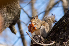 Have you ever seen a squirrel eat pizza? (Matthew Endersbe) Tags: pizza squirel