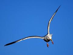 The wonders of flight. (GWP_Photo) Tags: calgary alberta canada bird gull flight wings nikon d750 nikkor 200500