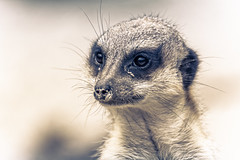 Not Guilty (Alfred Grupstra) Tags: animal bokeh dof meerkat portrait annapaulowna noordholland nederland nl mammal wildlife africa alertness mongoose looking cute nature animalsinthewild snout small brown oneanimal standing curiosity animaleye closeup