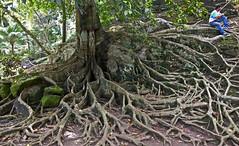 Deep-rooted (TablinumCarlson) Tags: asien asia indonesien indonesia bali bedulu leica dlux dlux6 mann man baum tree wurzel wald forest regenwalt rainforest root natur mother nature pflanze plant bedahulu beautiful