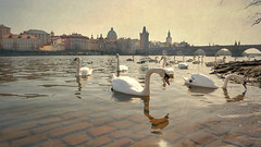 Swans on the river Vltava, Prague, Czech Republic (jjamv) Tags: jjamv julesvtravel prague praha czechrepublic vltavariver unesco čeština charlesbridge astronomicalclock oldtownsquare staromák wenceslassquare prague'sjewishquarter ghetto charlesiv swansonthemoldauriverprague českárepublika panasonicdmctz70 dmctz70 tz70 aquatic bohemia bridge built structure city citylife czech republic day europe flowing horizontal humaninterest image nopeople outdoors photography river swan travel water urbanscene vacations vltava riverbank romantic sky sunset tourism town traveldestinations idyllic landmark peaceful reflection animal architecture cityscape 2017 bird building karlůvmost moldau texture textured ancient bridgetower heritage historic moodycalico