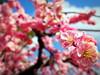 農業センター delaふぁーむ⑥ しだれ梅(6) (ebi-katsu) Tags: olympus pen epm2 農業センター delaふぁーむ flower plants tree weepingplum plum plumblossom しだれ梅 枝垂れ梅