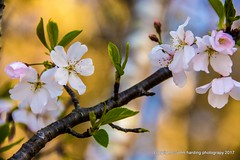 Cherry Blossom Festival (T i s d a l e) Tags: tisdale cherryblossomfestival trees cherry blossoms spring march 2017 easternnc