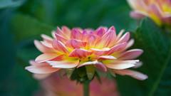 Dahlia (sviet73) Tags: fleur flower macro nature plante dahlia rose