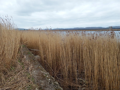Tay Reed Beds Firth of Tay