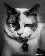 My baby!          #cat #animal #canon #blackandwhite #monochrome #portrait #lovely #cute #gato #female (hamzapr8) Tags: rescueanimal rescuecat puertorico lady mascota animal canon blackandwhite portrait cute gato female cat monochrome