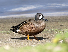 Blue-winged Teal, Anas discors (bruce_aird) Tags: