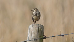 Standing proud (Explored) (Mick Lowe) Tags: wire post pipit meadow anthus pretensis
