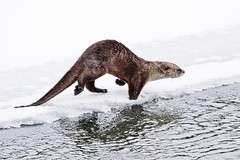 Otter About To Enter The Water (Susan Roehl) Tags: yellowstoneinwinter2017 yellowstonenationalpark wyoming usa northamericanriverotter animal smallmammal carnivore eatsfish sueroehl photographictours naturalexposures lumixdmcgh4 100400mmlens handheld cropped photographedfromroad outdoors ngc