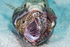 Lizardfish with grouper