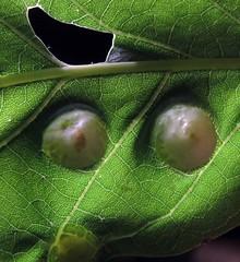 Galls (Sea Moon) Tags: macro tree green leaf oak insects swelling tumors oakapple growths
