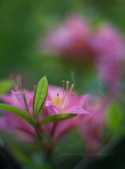 IMG_1527 (mikereidphotography) Tags: flowers abstract flower floral dof bokeh rhododendrons canonphotography zeiss50mmze