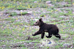 Walking Tall, young grizzly cub (Daryl L. Hunter - Hole Picture Photo Safaris) Tags: usa cute bravo unitedstates wyoming coy grandtetonnationalpark grizzlycubs 2013 springcubs cubsoftheyear grizzly399