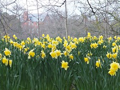 Bleak House (lady.bracknell) Tags: liverpool spring daffodils seftonpark mariecurie