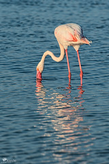 Flamingo (Rob McFrey) Tags: sardegna flamingo phoenicopterusroseus cagliari avifauna molentargius fenicottero