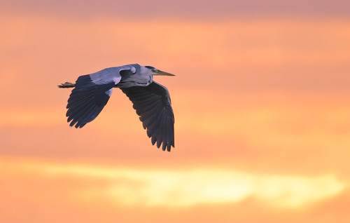 Heading home to Roost (Grey Heron)