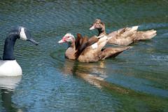 Muscovy Duck 4 The Competition (etva101) Tags: wildlife ducks behavior muscovyducks